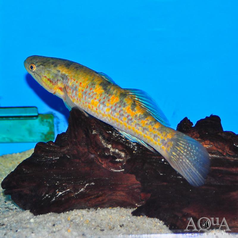Snakehead Gudgeon (Giuris margaritacea)