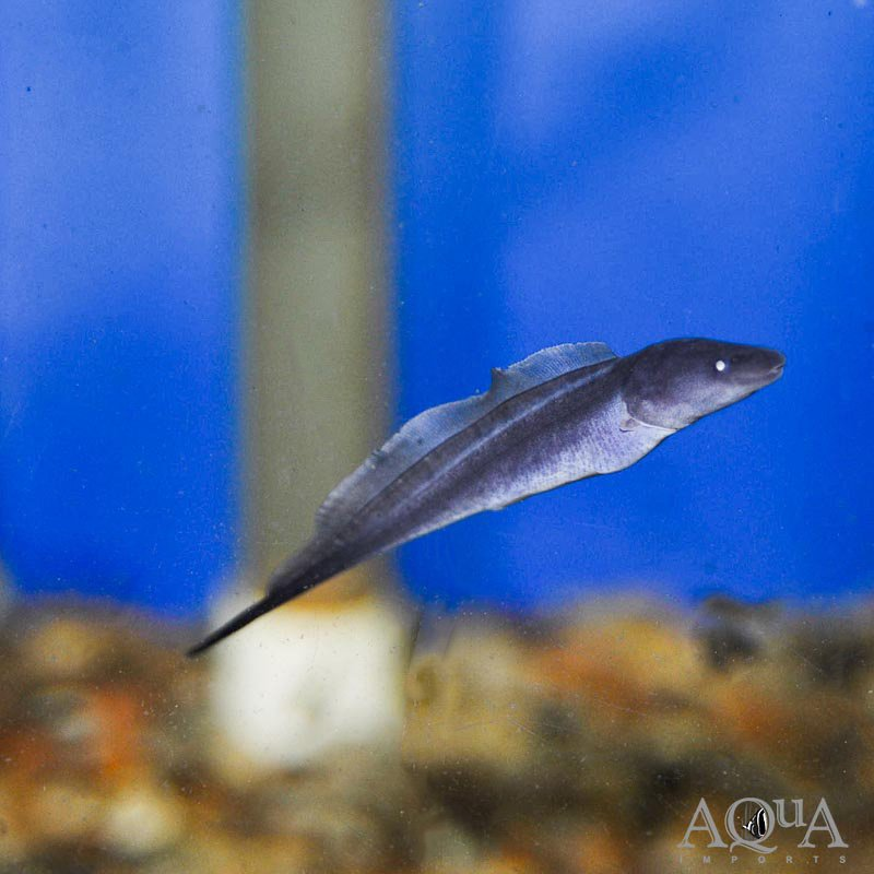 Aba Aba Knifefish (Gymnarchus niloticus)
