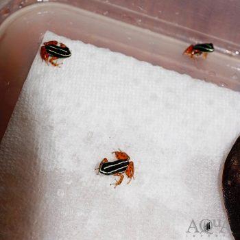 Adelphobates quinquevittatus Dart Frog
