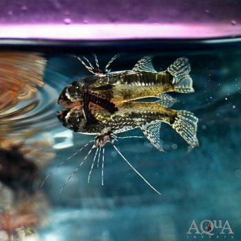 African Butterfly Fish (Pantodon bucholzi)