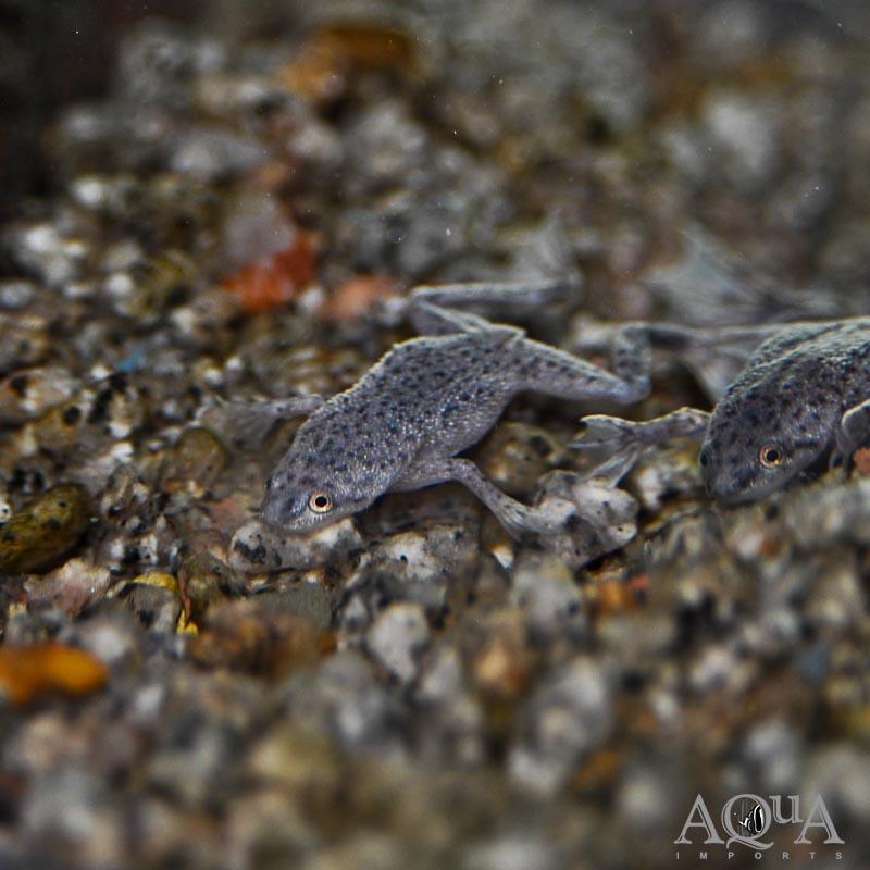 African Dwarf Frog (Hymenochirus sp.)