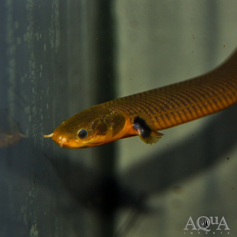African Ropefish (Erpetoichthys calabaricus)