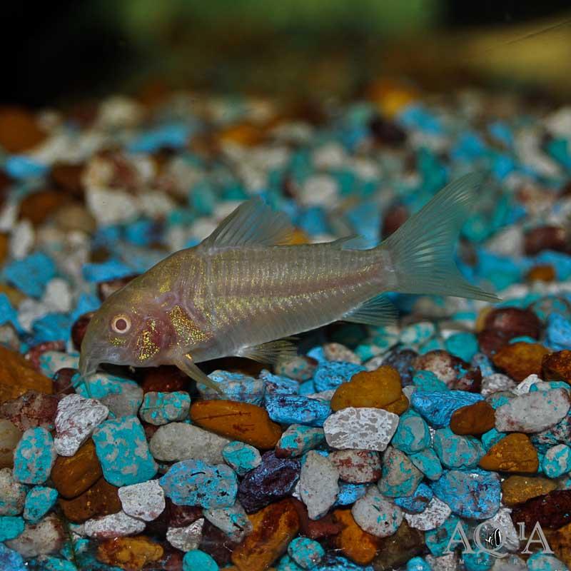 Albino Aeneus Cory (Corydoras aeneus) - Group of 5 Fish