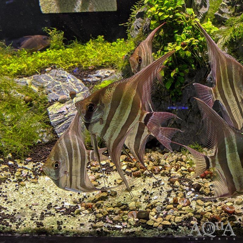 Altum Angel (Pterophyllum altum)