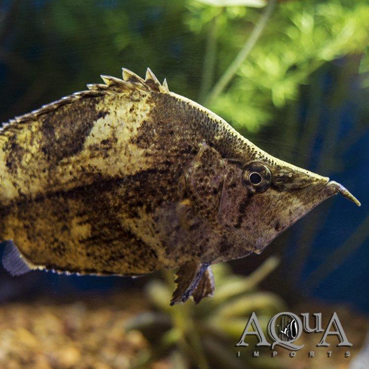 Amazon Leaf Fish (Monocirrhus polyacanthus)