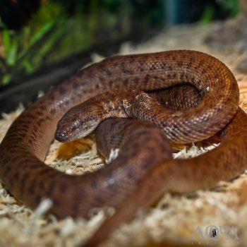 Female Anthill / Pygmy Python (Antaresia perthensis)
