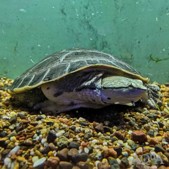Argentine Side Necked Turtle (Phrynops hilarii)