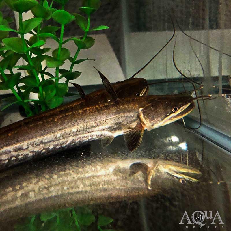 Big Mouth Wallago Catfish (Wallagonia attu)