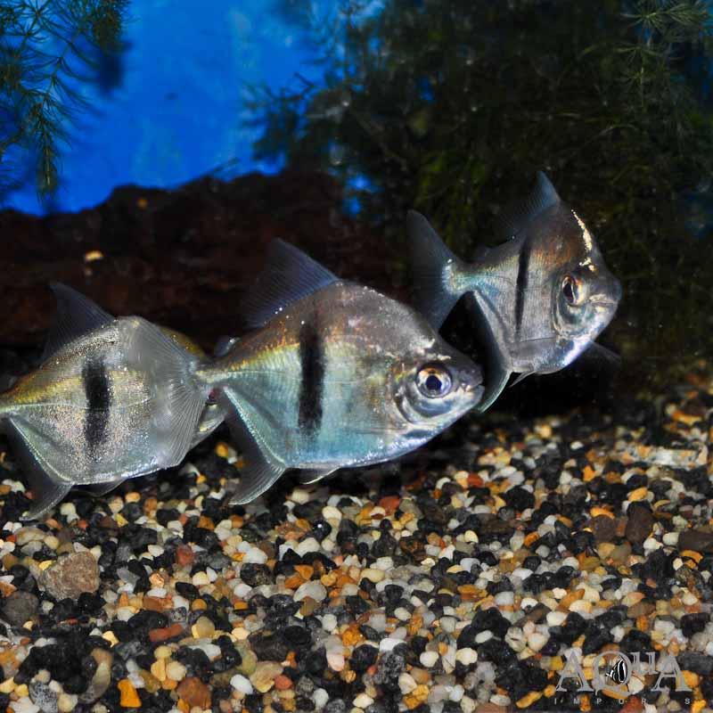Black-barred Myleus (Myleus schomburgkii)