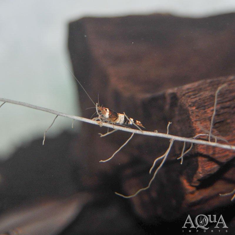Crystal Black Shrimp (Caridina cf. cantonensis)