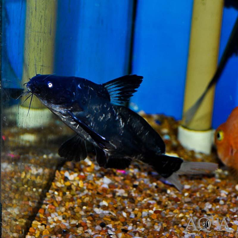 Black Lancer Catfish (Bagrichthys macracanthus)