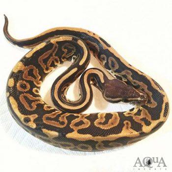 Female Black Pastel Leopard Possible Het Orange Ghost Ball Python