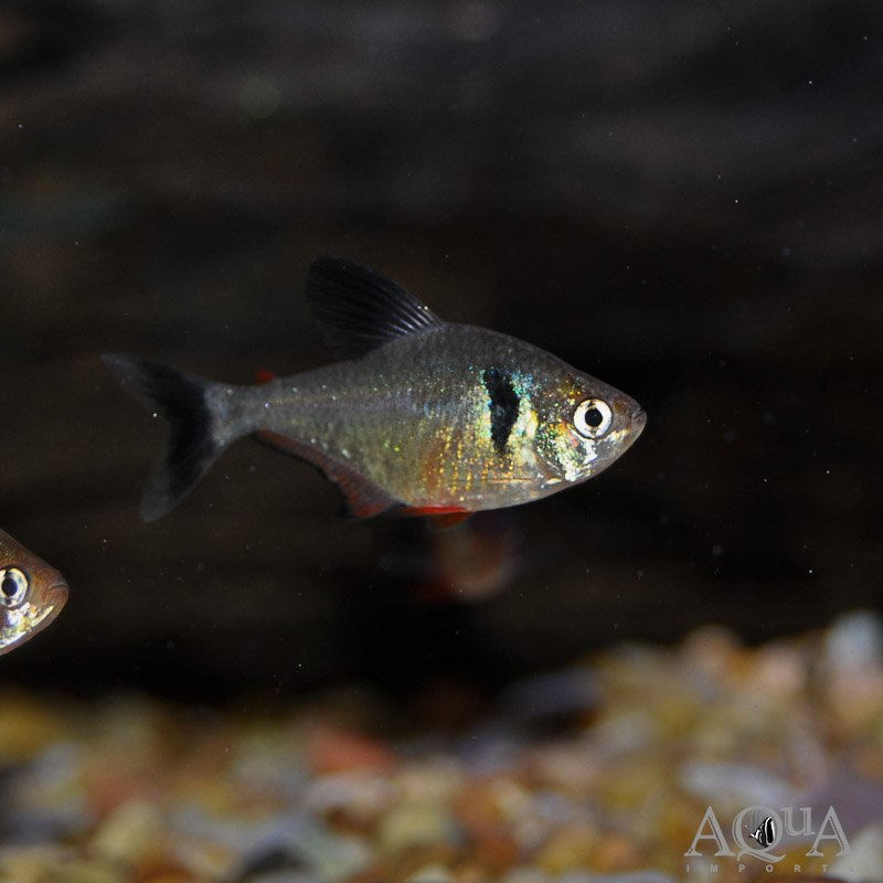 Black Phantom Tetra (Hyphessobrycon megaloptera) - Group of 5 Fish