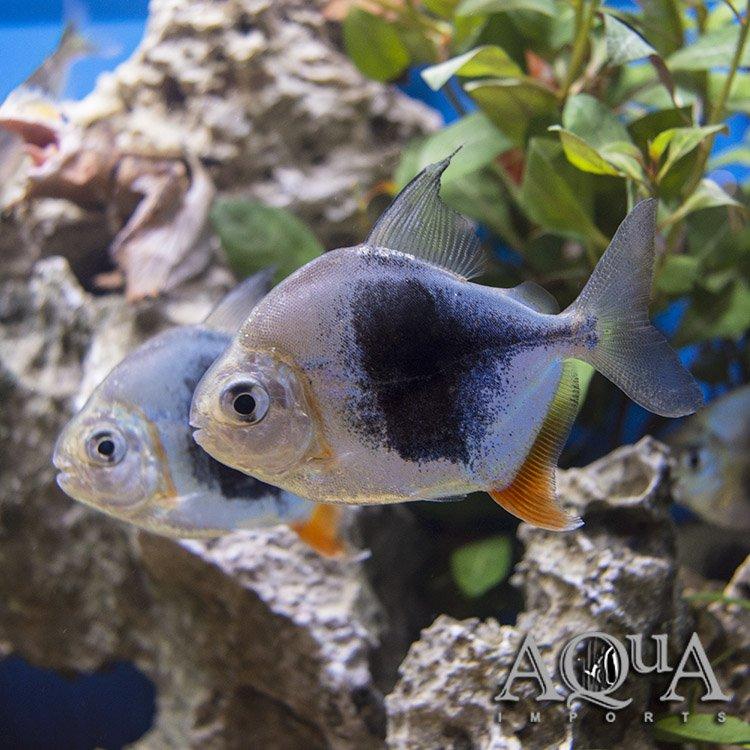 Blackberry Silver Dollar Myleus Schomburgkii Blackberry Aqua Imports Online Store