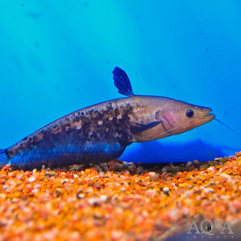 Blackhawk Catfish (Wallagonia micropogon)