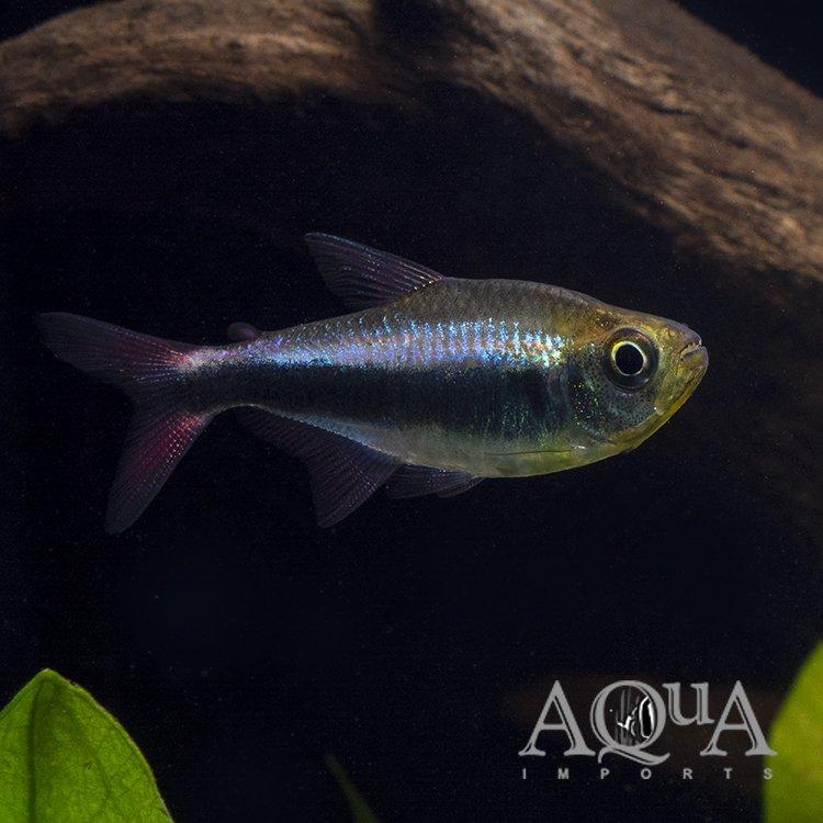 Bleeding Blue Tetra (Hyphessobrycon margitae)