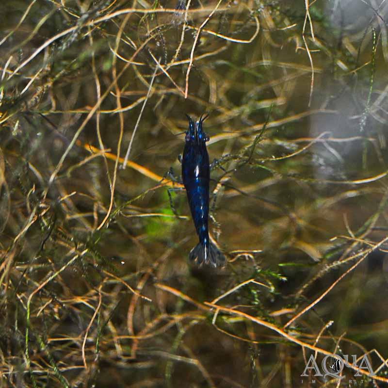 Blue Diamond Shrimp (Neocaridina sp.)