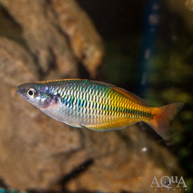 Boesemani Rainbow (Melanotaenia boesemani)
