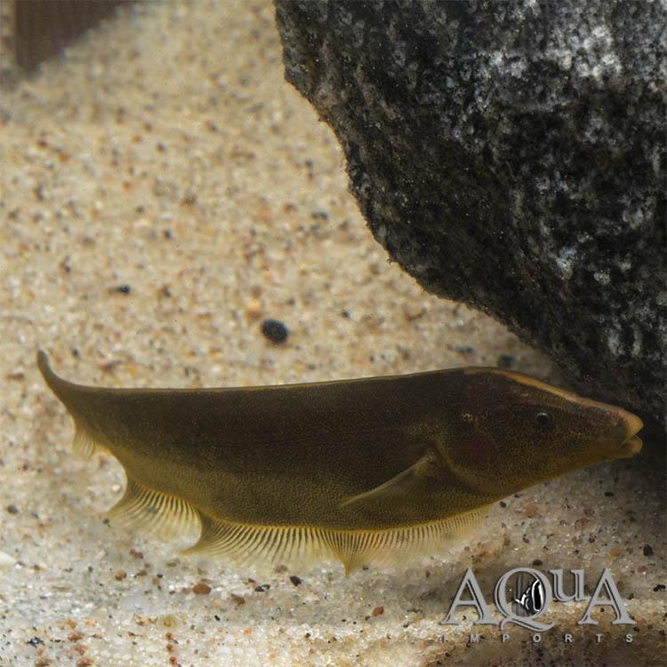 Brown Ghost Knifefish Apteronotus Leptorhynchus Aqua Imports Online Store