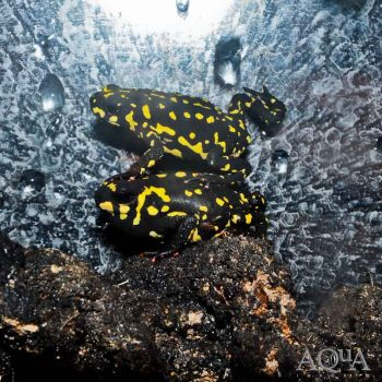 Bumble Bee Toad (Melanophryniscus stelzneri)