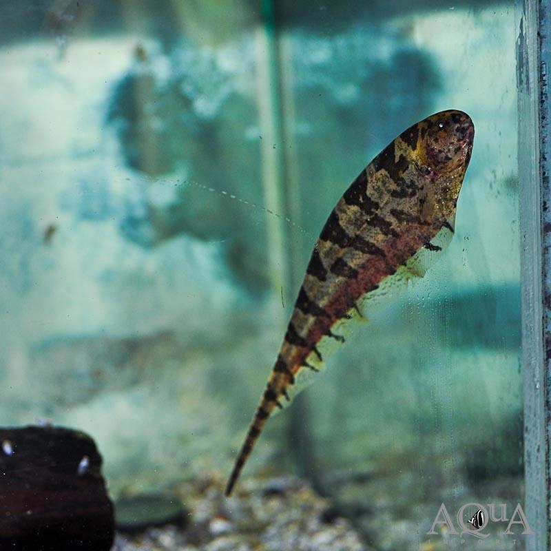 Centipede Knifefish (Steatogenys duidae)