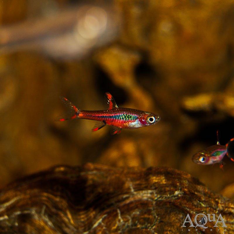 Chili / Mosquito Rasbora (Boraras brigittae) - Group of 10 Fish