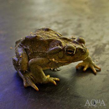 Colorado River Toad / Sonoran Desert Toad (Incilius alvarius)