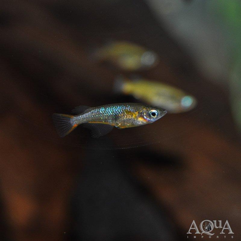 Daisy's Blue Ricefish (Oryzias woworae) - Group of 5 Fish