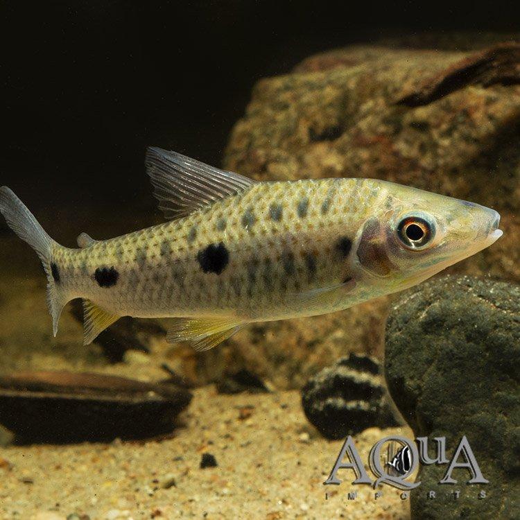 Dot Dash Leporinus (Leporinus steyermarki)