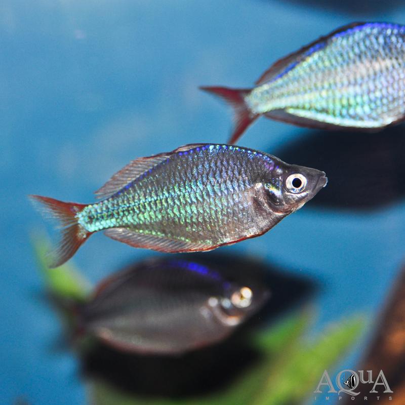 Dwarf Neon / Praecox Rainbowfish (Melanotaenia praecox)