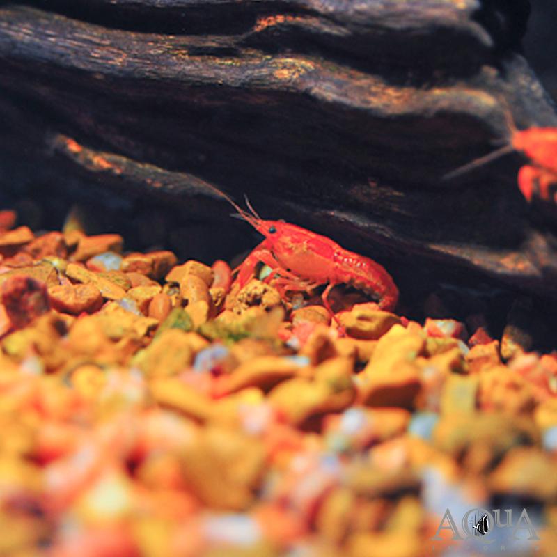 Mexican Dwarf Orange Crayfish (Cambarellus patzcuarensis 'orange')