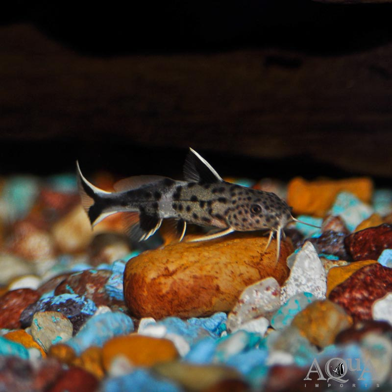 Dwarf Synodontis Catfish (Synodontis petricola)