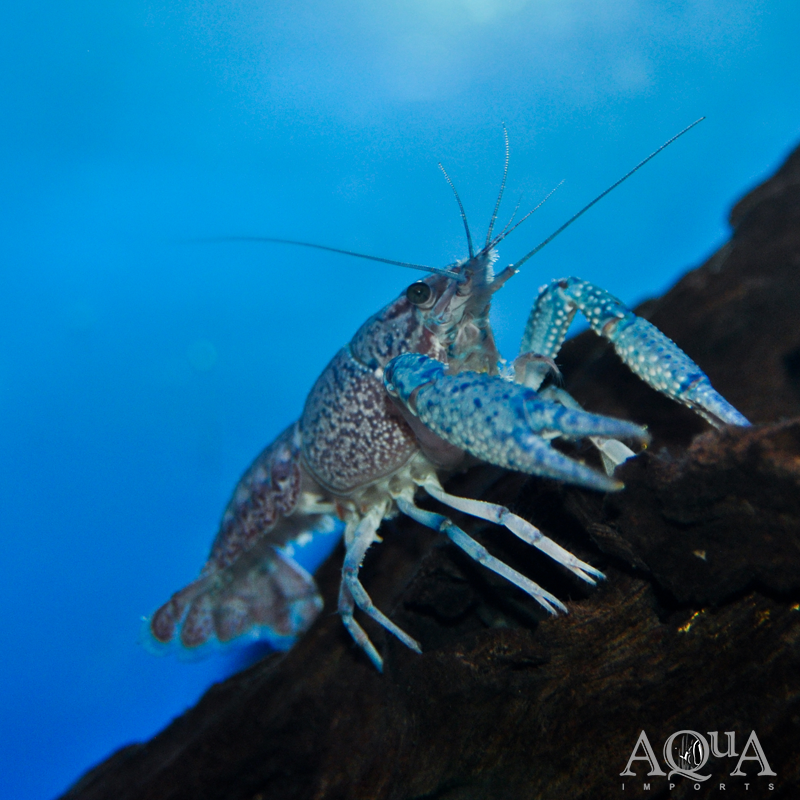 Electric Blue Crayfish (Procambarus alleni)