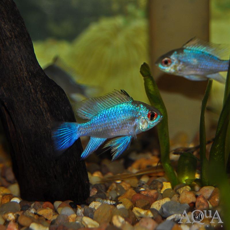 Electric Blue Ram (Mikrogeophagus ramirezi)