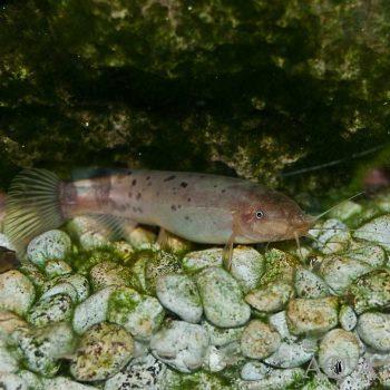 Electric Catfish (Malapterurus cf. electricus)