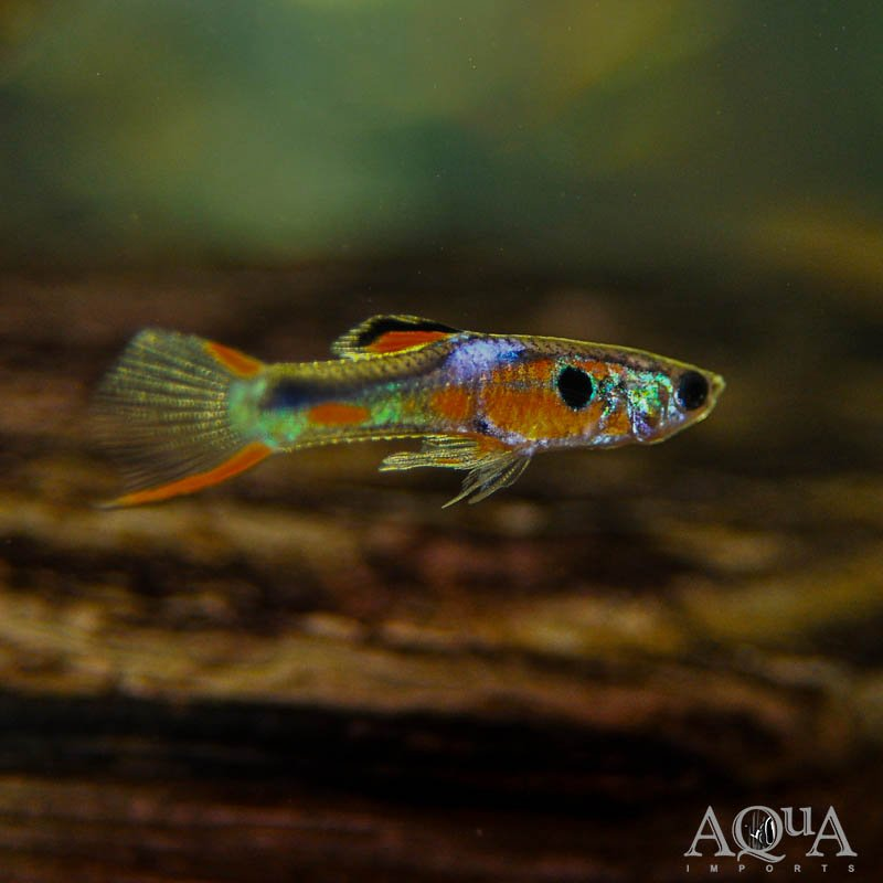Endler's Livebearer (Poecilia wingei) - Group of 5 Assorted Males