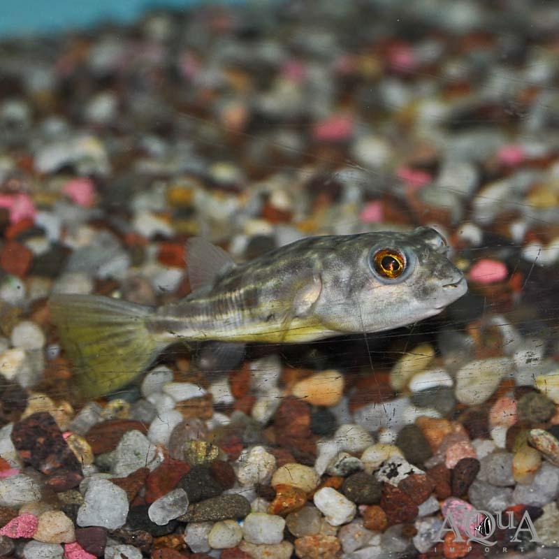 Fahaka Puffer (Tetraodon lineatus)