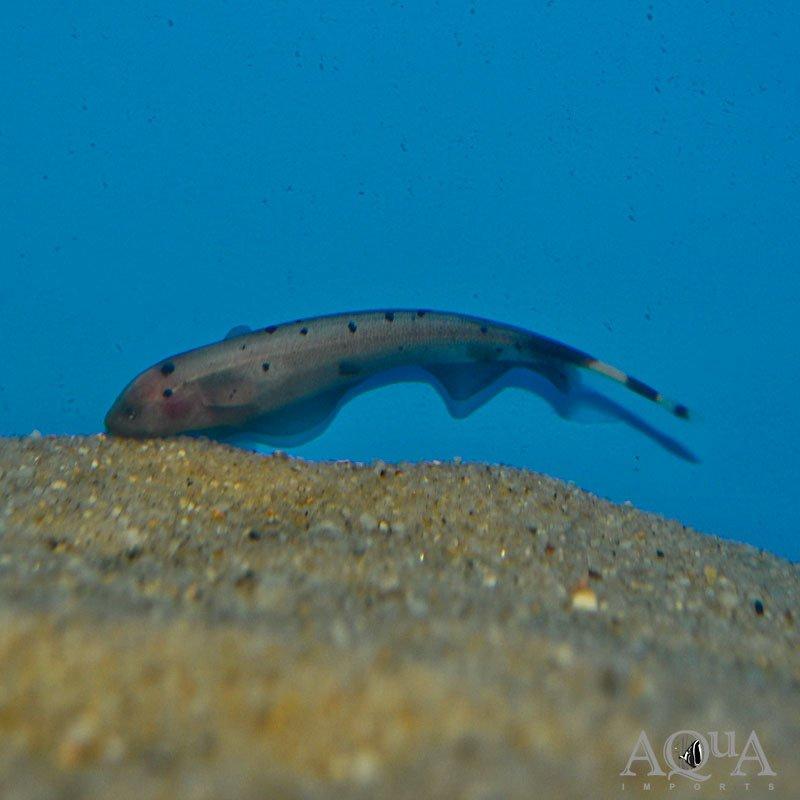 """Gold"" Ghost Knifefish (Apteronotus albifrons 'gold')"