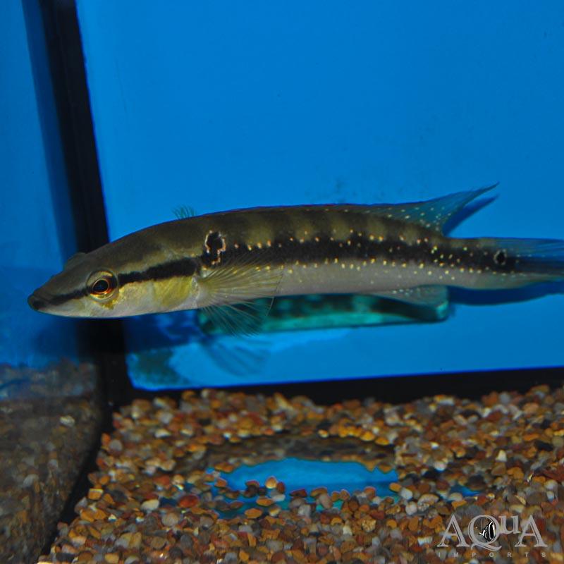 Gold Spot Caqueta Pike Cichlid (Crenicichla cf. anthurum 'Caqueta')