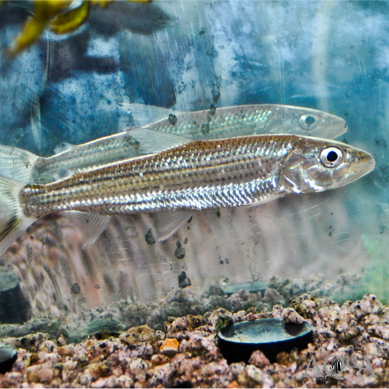 Goliath Tiger Fish (Hydrocynus cf. goliath)