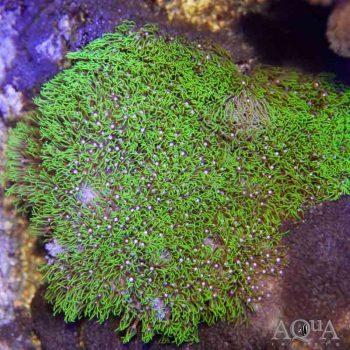 Metallic Green Star Polyp Colony