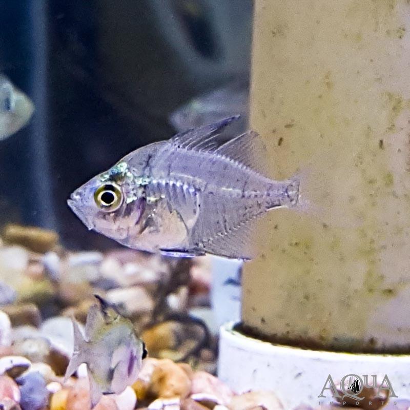Highfin Glassfish (Parambassis lala)