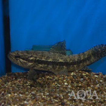 Black Wolf Fish (Hoplias curupira)