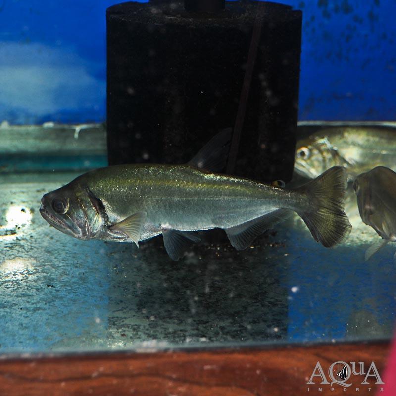 True Armatus Payara (Hydrolycus armatus)