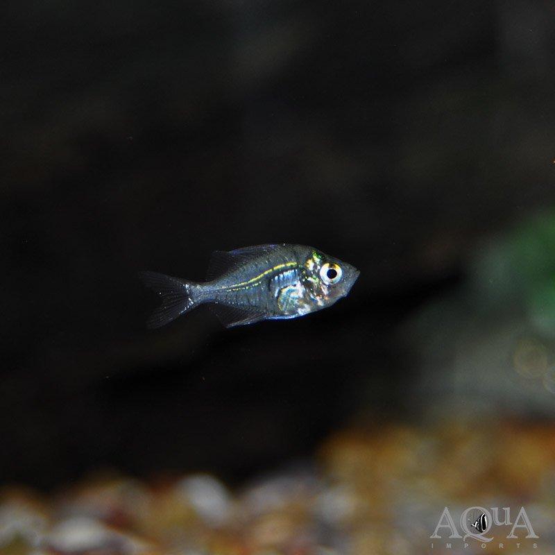 Indian Glass Fish (Parambassis ranga)