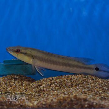 Inirida Spotted Pike Cichlid (Crenicichla cf. lugubris)