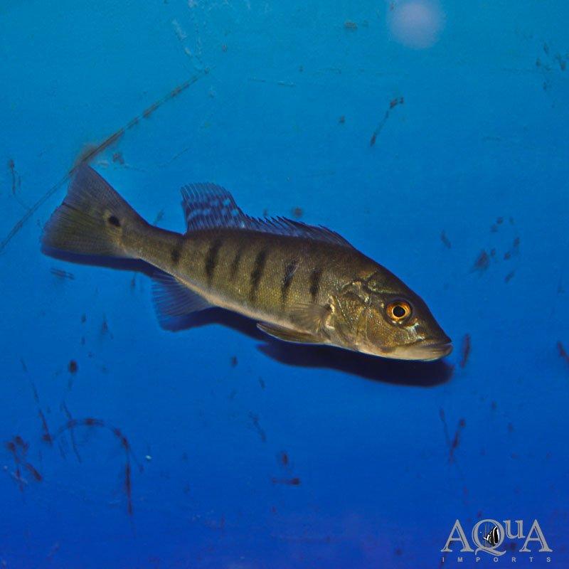 Intermedia Peacock Bass (Cichla intermedia) - Rio Caqueta Locale