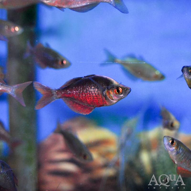 New Guinea Red Rainbowfish (Glossolepis incisus)