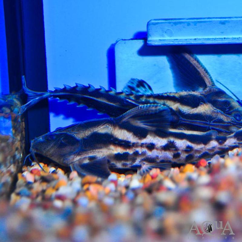 Irwini / Giant Talking Catfish (Megalodoras uranoscopus)