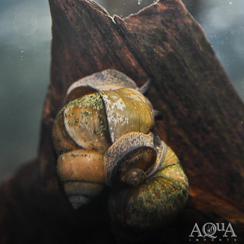 Japanese Trapdoor Snail (Viviparus malleattus)